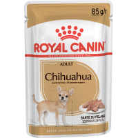 Adult Chihuahua
